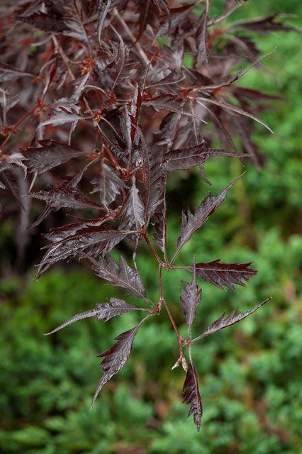 Fagus sylvatica 'Midnight Feather'