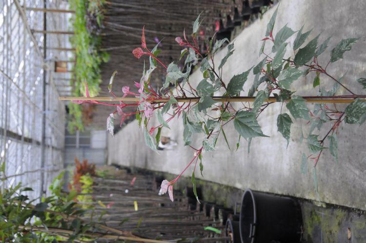 <i> Acer x conspicuum</i> 'Red Flamingo'