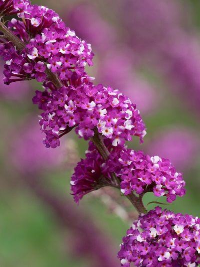 Buddleja High Five Purple