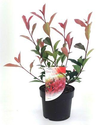 Photinia Faros Red