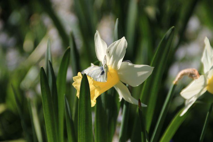Narcis en vlinder