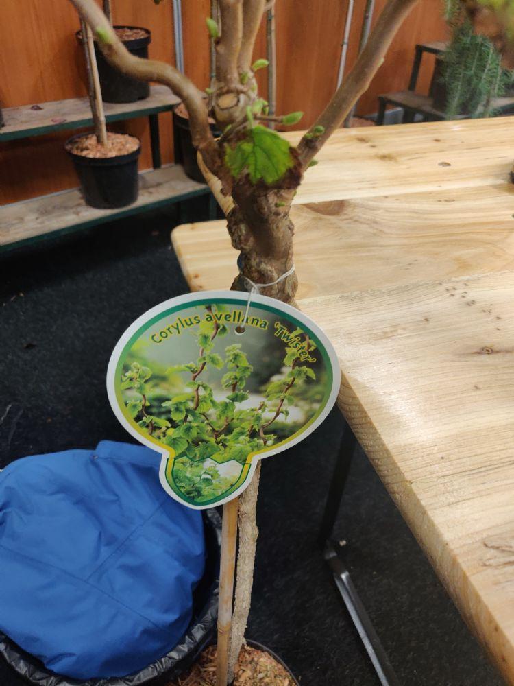 Veelenturf Corylus avellana 'Twister'. Kleinblijvende kronkel hazelaar