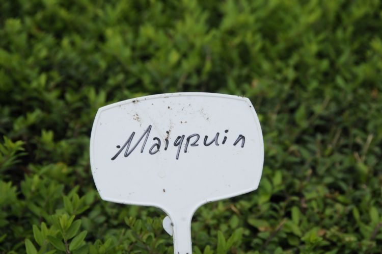 Struikkamperfoelie (<i>Lonicera nitida</i> 'Maigrün')