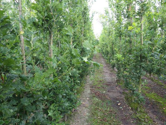 Behandelde zuileiken waren vitaler dan onbehandelde bomen op de boomkwekerij in Noord-Brabant.