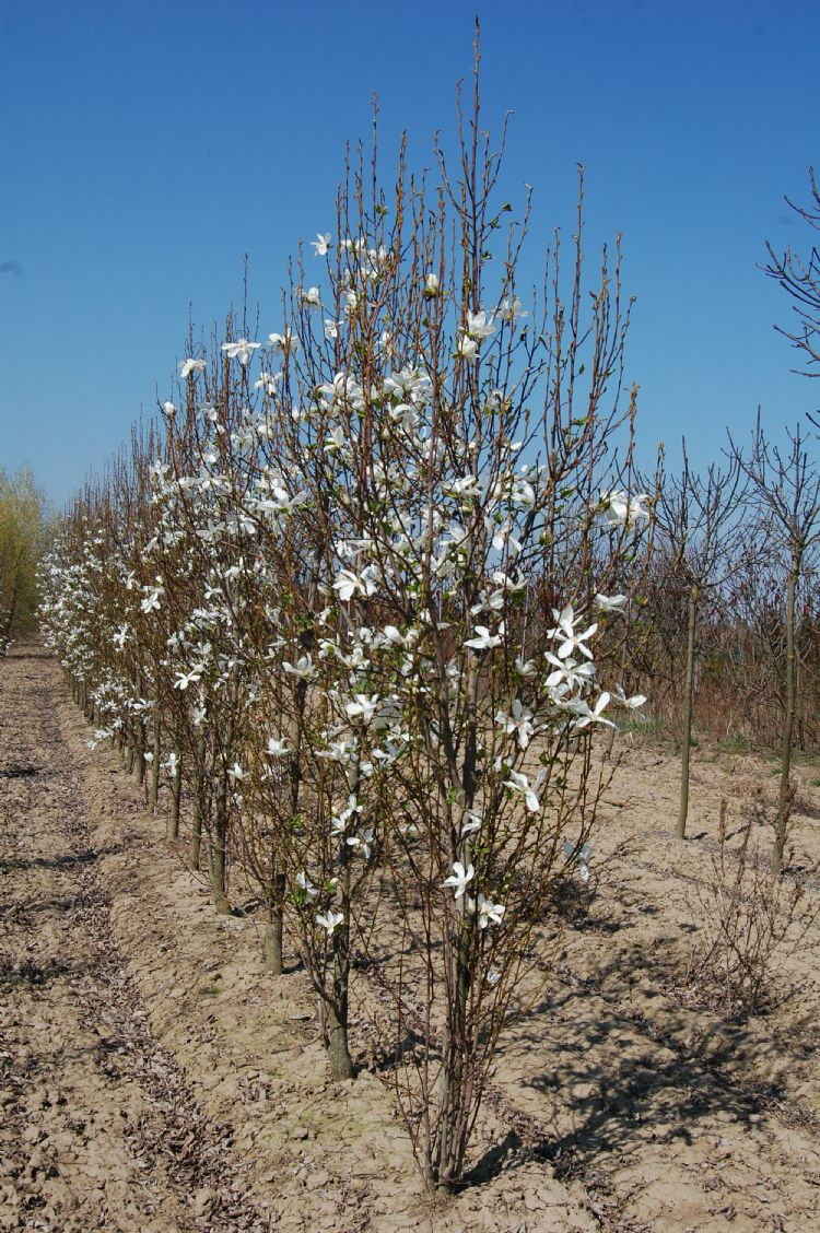 Magnolia kobus 'Maráczi'