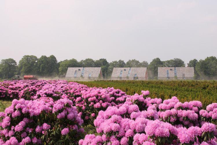 Groter formaat rododendrons (50 tot 120 centimeter) bij Handelskwekerij De Buurte