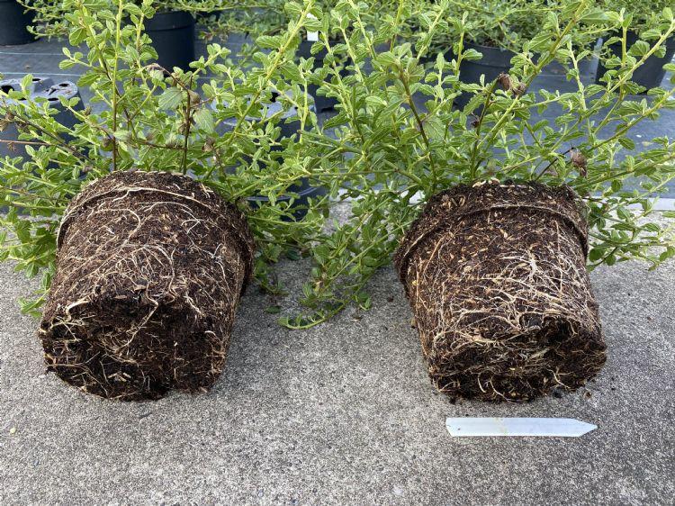 Ceanothus. Links onbehandeld, rechts behandeld met mycorrhiza