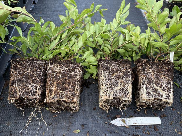 Lagerstroemia. Links onbehandeld, rechts geïnjecteerd met mycorrhiza