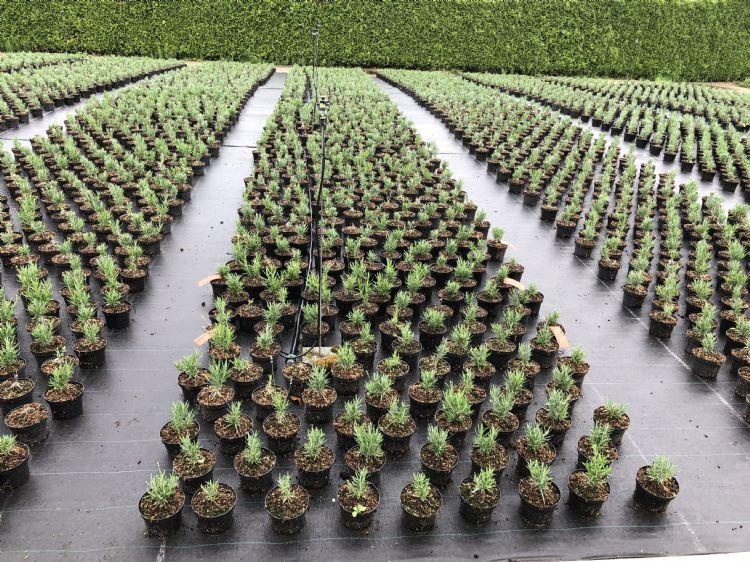Lavendel, met Biovin in de potgrond doorgemengd. Er is een sterke reductie van de uitval