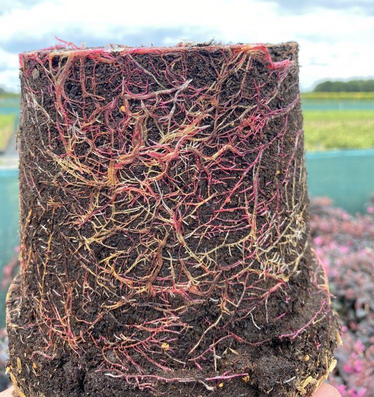 Loropetalum, geïnjecteerd met mycorrhiza