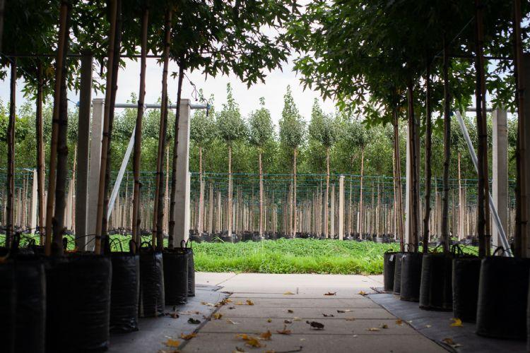 Laanbomen bij Gebroeders Van Eldik