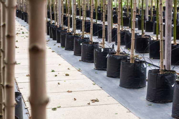 Laanbomen gedijen goed op Jiffy-substraat