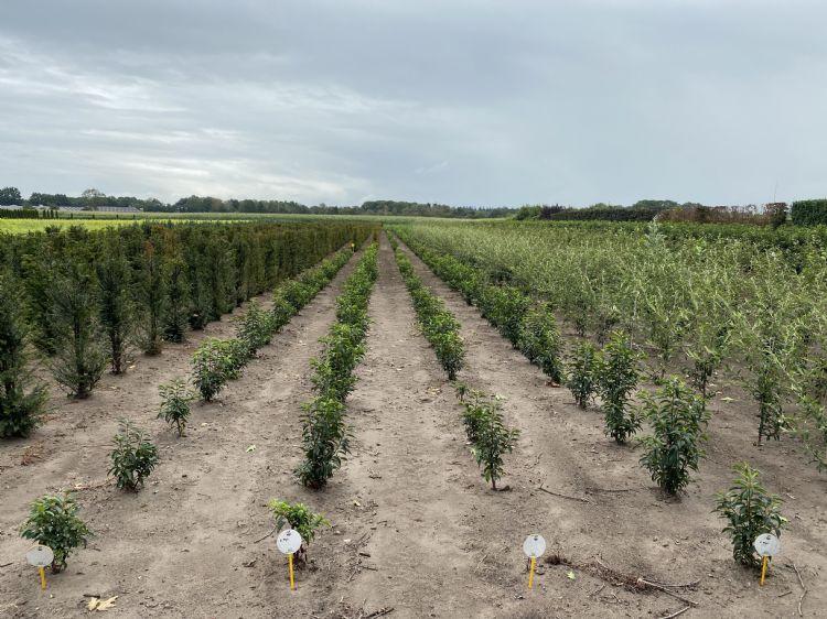Plantgoed dat in de basis al is behandeld met mycorrhiza behoudt duidelijk voorsprong