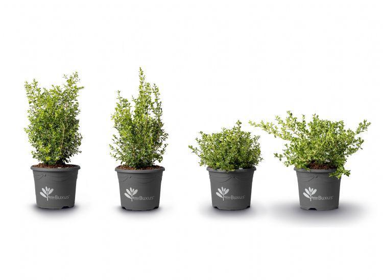 De vier schimmelresistente cultivars van Herplant: Better Buxus