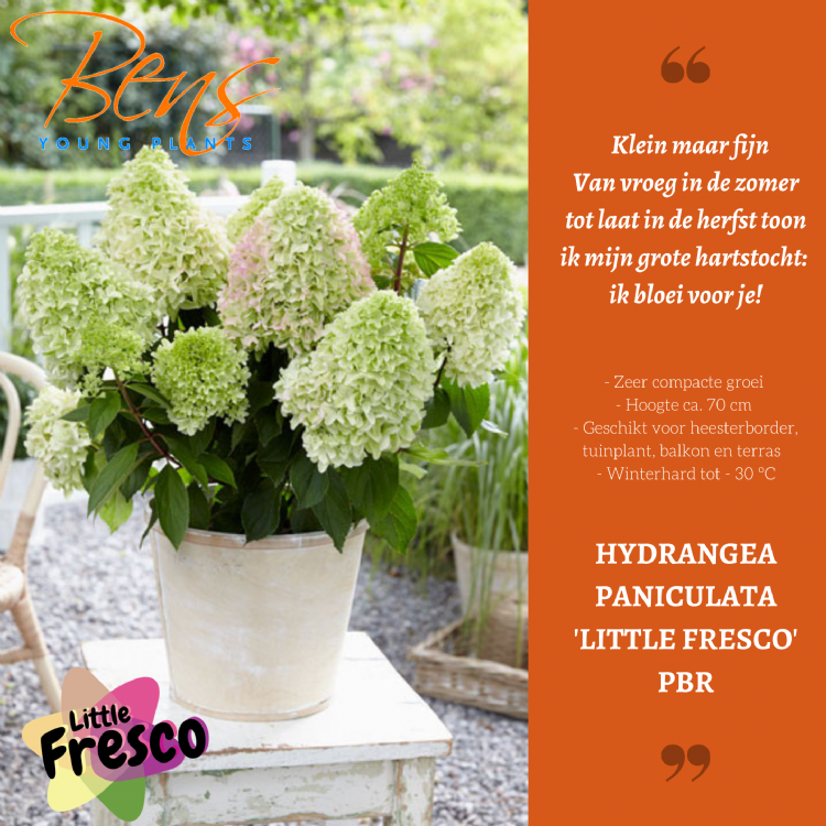 <i>Hydrangea paniculata</i> 'Little fresco' (PBR)