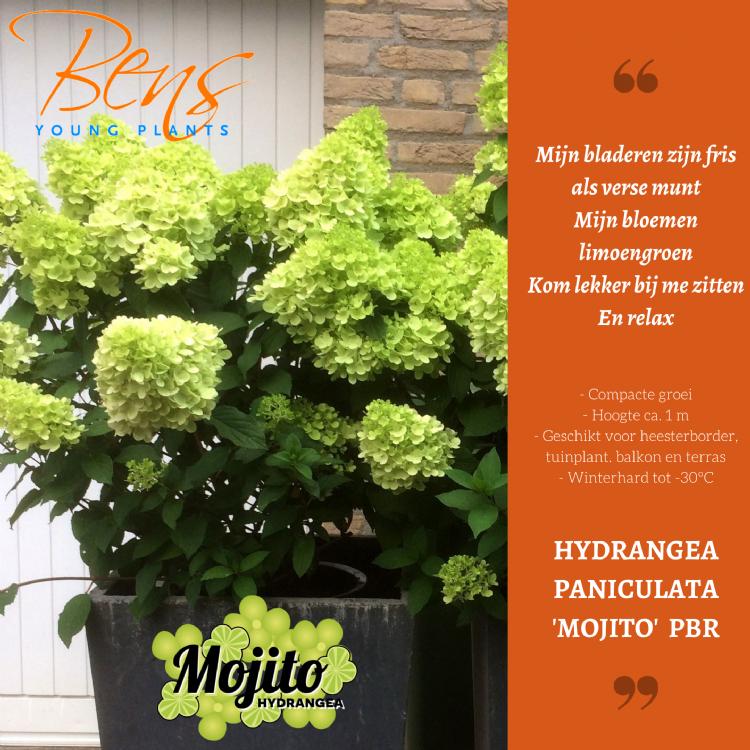 <i>Hydrangea paniculata</i> 'Mojito' (PBR)