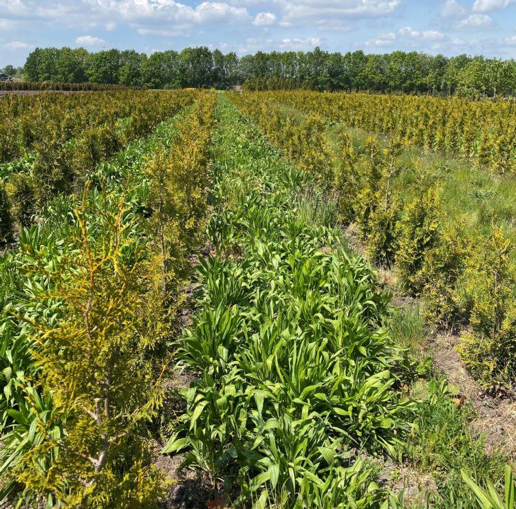 LG Graslandkruiden tussen de coniferen van kwekerij Vreugdenhil in Eldersloo