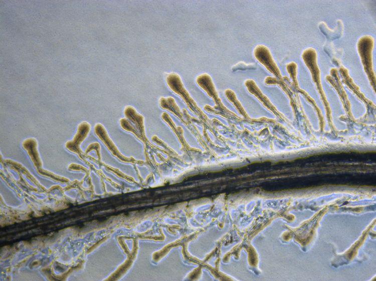 Kolonisatie van fijne plantenwortels door gunstige bacteriën heeft meerdere positieve effecten