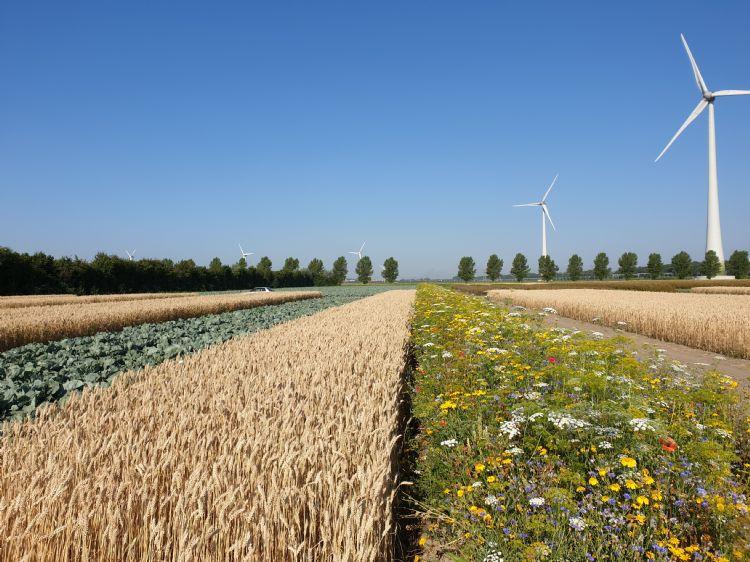 Natuurstroken tussen de gewassen bevorderen de biodiversiteit, ook in het midden van het perceel. Foto: Fogelina Cuperus