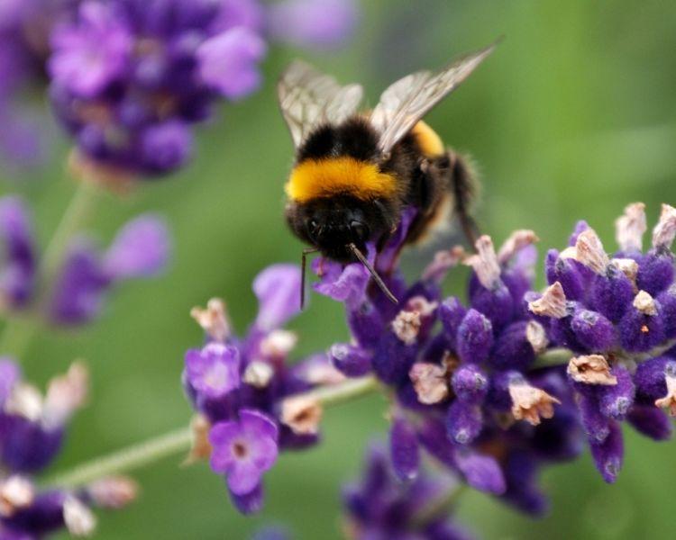 EU: Blootstelling van bijen aan 'neonixen' moet geminimaliseerd worden