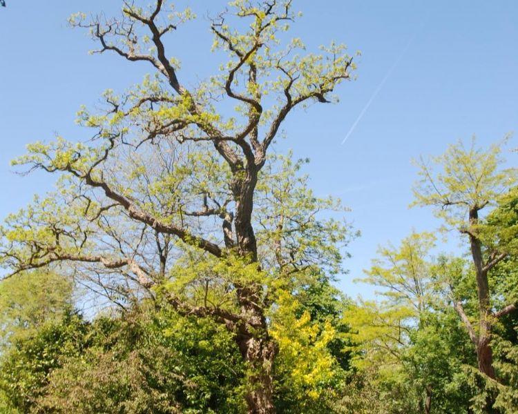 Acacia, valt ook onder het importverbod