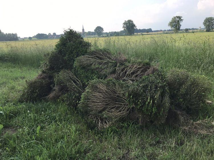 Archieffoto Vakblad de Hovenier; Illegale stort van kaalgevroten buxus op de maasdijk bij Ravenstein
