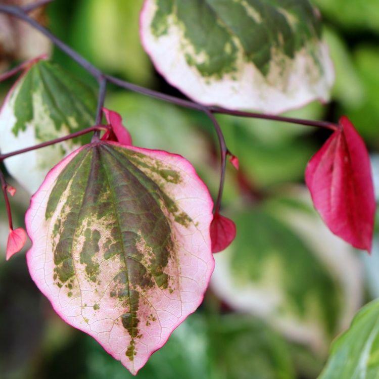Cercis canadensis 'Carolina Sweetheart', winnaar in de categorie tuinplanten. © Plantarium