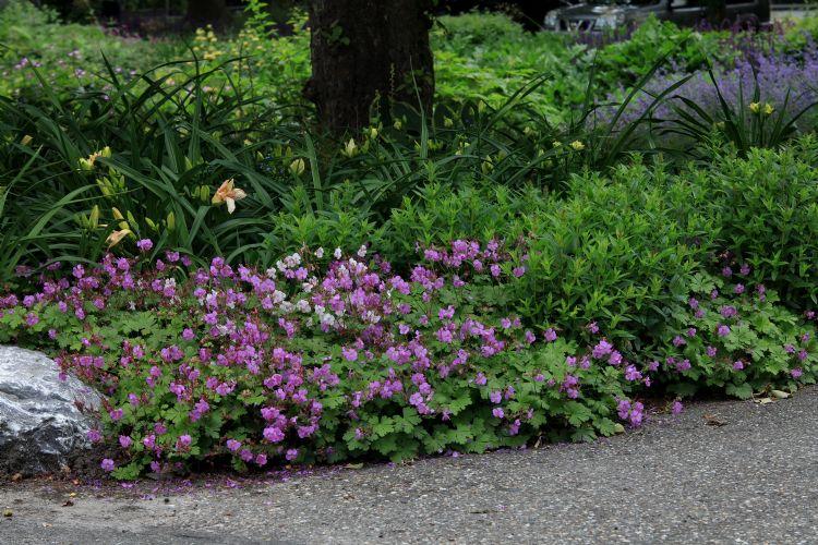 Geranium 'Cambridge' en Hemerocallis 'Condilla'
