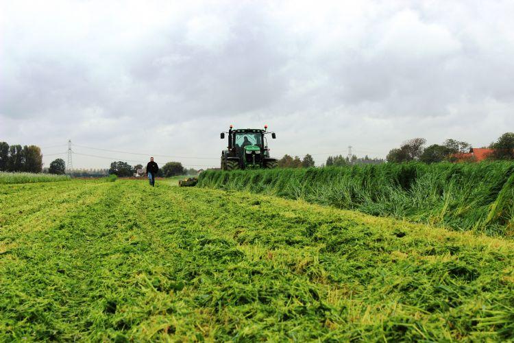 Silke Japanse haver is een veelgebruikte groenbemester in de boomkwekerij