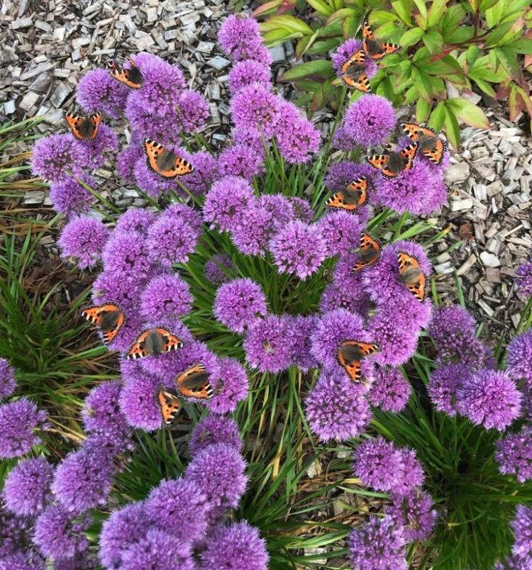 De plant is geliefd bij vlinders zoals de kleine vos.